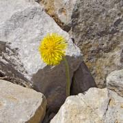 En løvetann mellom flere steiner