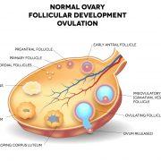 Tverrsnitttegning av en eggstokk og eggceller
