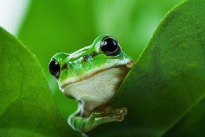 Grønn frosk kikker ut mellom to grønne blader