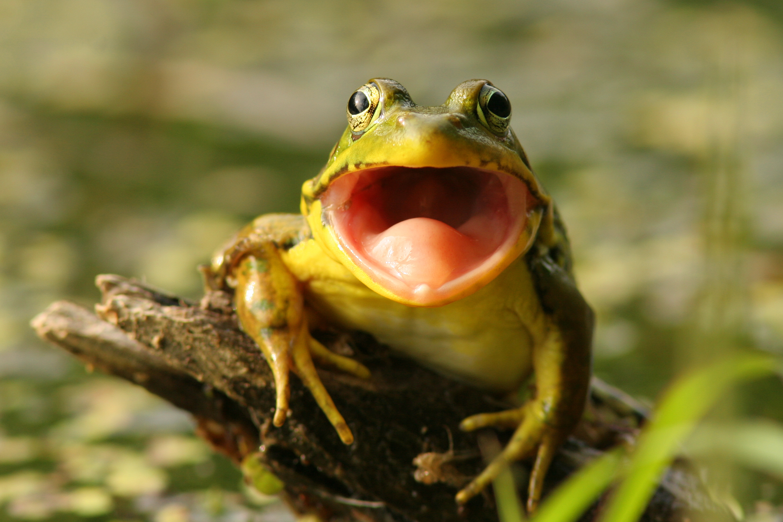En frosk med gapende munn