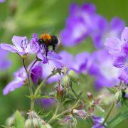 En humle samler nektar på en lilla blomst