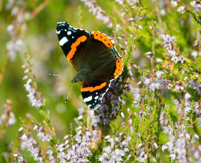 Fargerik sommerfugl på lyng