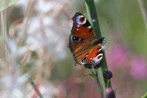 Fargerik sommerfugl