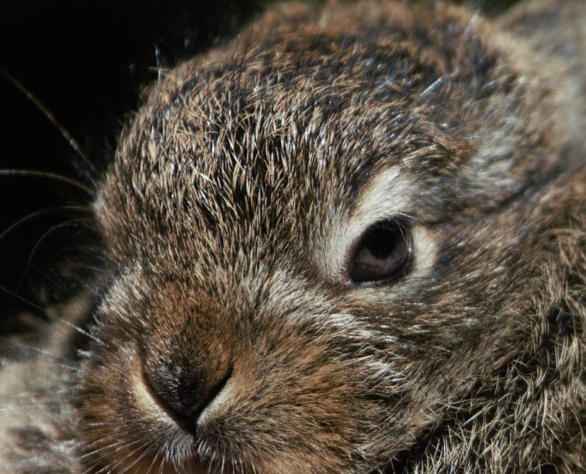 Nærbilde av en hareunge