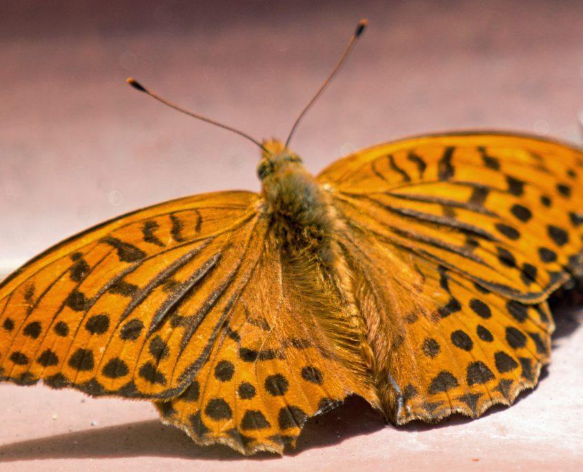 Orange og svartflekkete sommerfugl