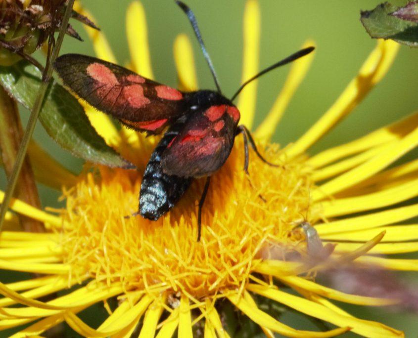 Bloddråpesvermer på en gul blomst